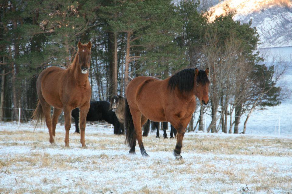 hest vinter